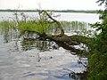 Mueggelsee - Gefallenen Baum (Mueggel Lake - Fallen Tree) - geo.hlipp.de - 36678.jpg