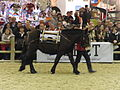 Mule-des-pyrennees baté SDA2013.JPG