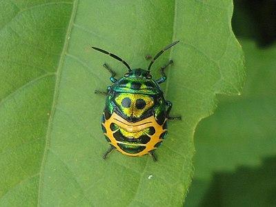 Multicolored Bug snap3 Kambalakonda Visakhapatnam.jpg