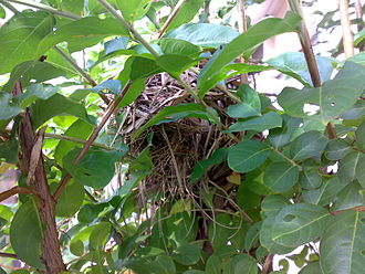 Chestnut munia - Chestnut munia nest. Nest is dome-shaped; entrance/exit point is visible