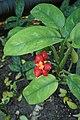 Murraya paniculata kz01.jpg