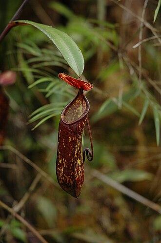 Nepenthes muluensis - An upper pitcher of Nepenthes muluensis from Mount Murud