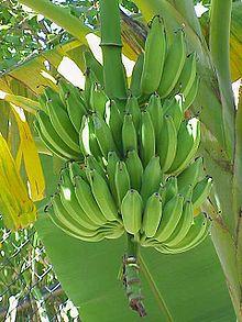 Cacho de bananas verdes ainda na bananeira.