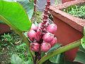 Musa Velutina - Garden Banana 03.JPG