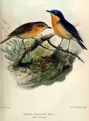 Pygmy flycatcher - Image: Muscicapella Hodgsoni