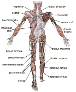 Muscle posterior labeled