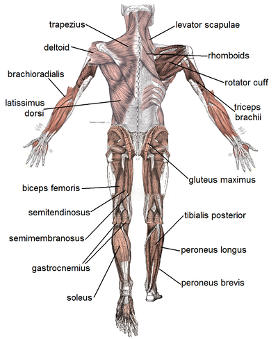 Muscles, posterior view (See Gray's muscle pictures for detailed pictures)