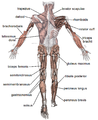 Muscle posterior labeled.png