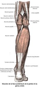 Muscles de la face postérieure de la jambe et du genou.png