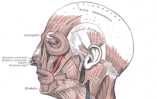 Zygomaticus minor muscle Facial muscle that draws the upper lip upwards and backwards during smiling