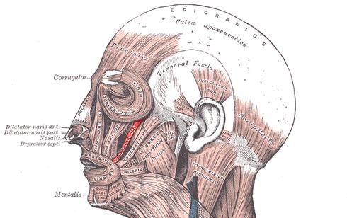 Músculo cigomático menor - Wikiwand