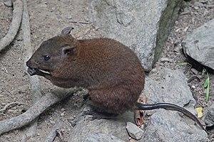 Musky rat-kangaroo - Near Kuranda, Queensland, Australia