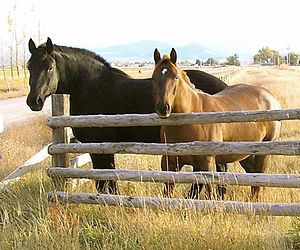 Draft horse - Size comparison of a draft horse of Percheron breeding with a stock horse type light riding horse