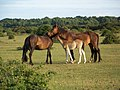 Mutual grooming, New Forest - geograph.org.uk - 1348784.jpg