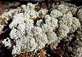 Muuratsalo - lichen.jpg