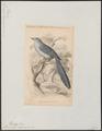 Myiagra longicauda - 1838 - Print - Iconographia Zoologica - Special Collections University of Amsterdam - UBA01 IZ16500113.tif