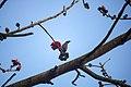 Myna On The Tree (247716257).jpeg