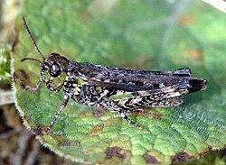 Myrmeleotettix.maculatus.jpg
