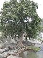 Myrtales - Terminalia arjuna - 1.jpg
