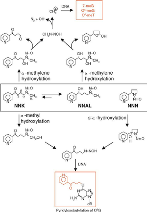 N-Nitrosonornicotine - Image: NNN Mechanism of Action