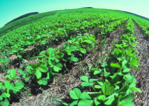 Young soybean plants are being planted in long rows