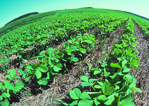 No-till farming - Young soybean plants thrive in and are protected by the residue of a wheat crop. This form of no till farming provides good protection for the soil from erosion and helps retain moisture for the new crop.