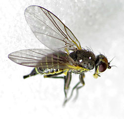 Napomyza bellidis (14196697148).jpg