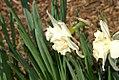 Narcissus Collarosa 0zz.jpg