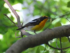 Narcissus Flycatcher-cropped.jpg