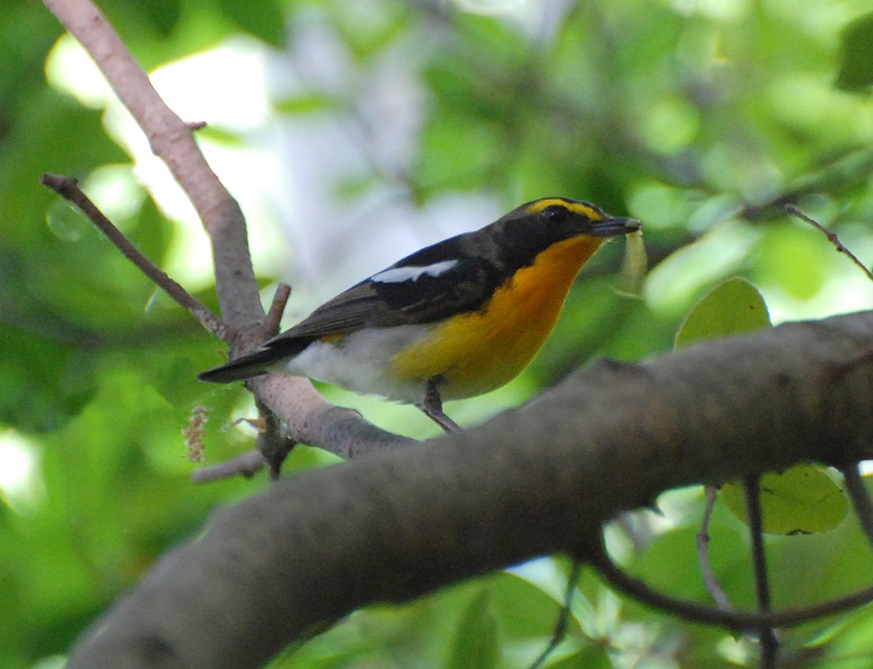 Narcissus Flycatcher-cropped