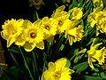 Narcissus pseudonarcissus (daffodills) - 1.jpg