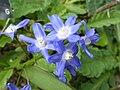 Narcissus willkommii (Amaryllidaceae) flower.jpg