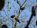 Narcondam Hornbill DSCN1242 18.jpg