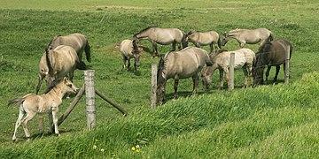 Nattenhoven, paarden in de wei IMG 9111 2021-05-09 13.05.jpg