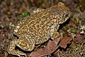 Natterjack Toad (Epidalea calamita) (7557522044).jpg