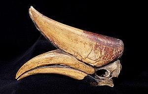 Rhinoceros hornbill - The skull of B. r. silvestris