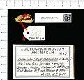 Naturalis Biodiversity Center - ZMA.MAM.28411.a lat - Mops condylurus - skull.jpeg