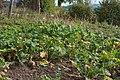 Navets en automne aux jardins Volpette.jpg
