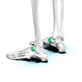 Navicular bone08.png