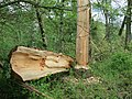 Near Aare at Oltigen, a tree felled by beavers and wind - panoramio.jpg