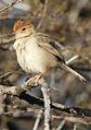 Neddicky, or Piping Cisticola, Cisticola fulvicapilla at Polokwane Nature Reserve, Polokwane, Limpopo, South Africa (14685083492).jpg