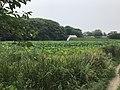 Nelumbo nucifera in north moat of Fukuoka Castle 15.jpg
