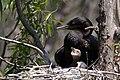 Neotropic Cormorant (adult & immature) Smith Oaks High Island TX 2018-04-17 12-40-23 (27078937857).jpg