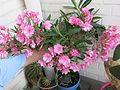 Nerium oleander (laurier-rose) in pot D160724.jpg