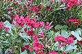 Nerium oleander 5 2017-07-20.jpg