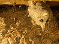 Nestbau der gemeinen Wespe VII.jpg