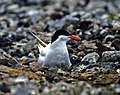 Nesting Antarctic tern.jpg