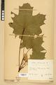 Neuchâtel Herbarium - Acer platanoides - NEU000026118.tiff
