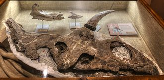 Pentaceratops - Skull in the New Mexico Museum of Natural History and Science