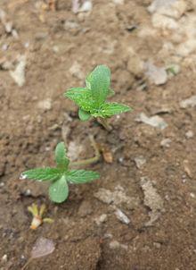 Cannabis indica - Wikipedia